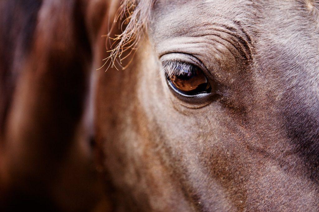 Morgan Horse Eye