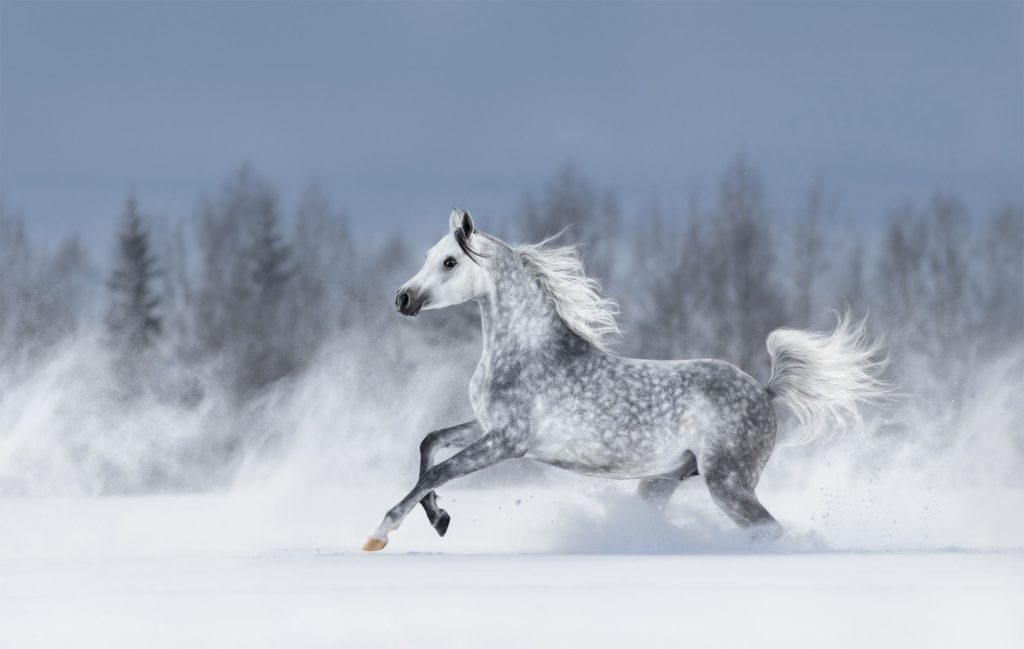 Arabian Horse A Handy Breed Profile And Guide Horsy Land All About Horses