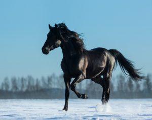 Black Mustang