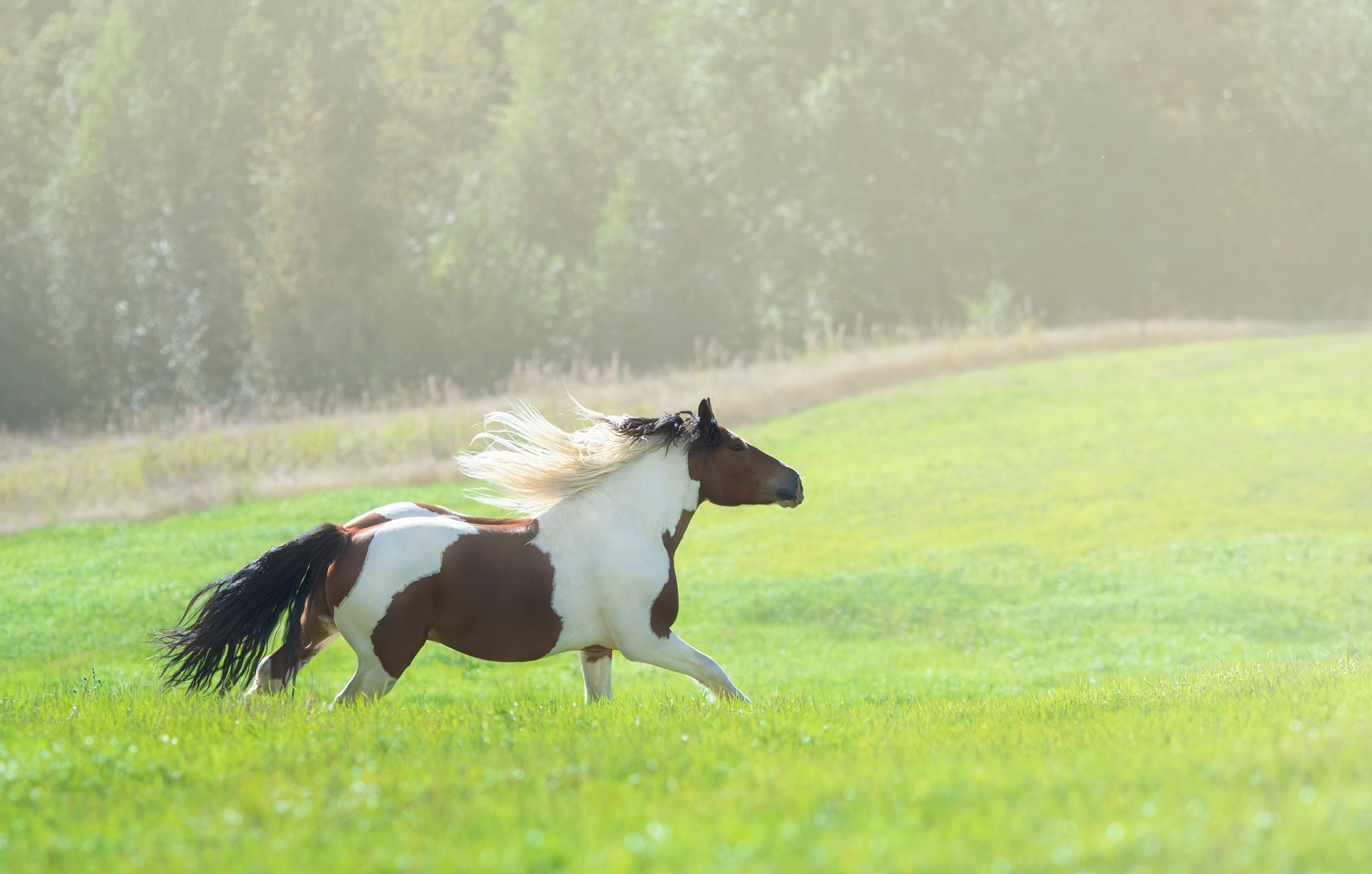 Paint horse galloping across summer green meadow.